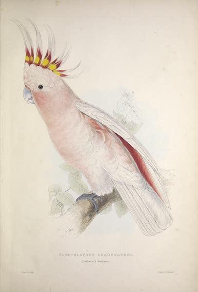 Illustrations of the Family of Psittacidae, or Parrots - <i>Plyctolophus leadbeateri</i> - Leadbeater's Cockatoo (1832)