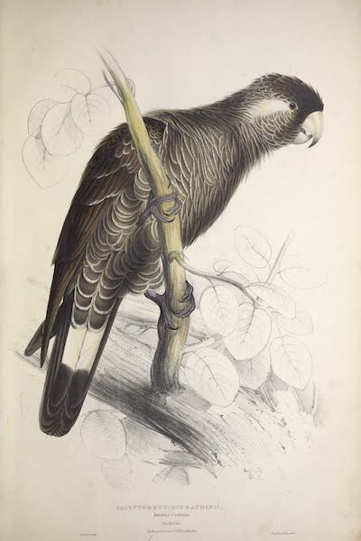 Illustrations of the Family of Psittacidae, or Parrots - <i>Calyptorhynchus baudinii</i> - Baudin's Cockatoo (1832)