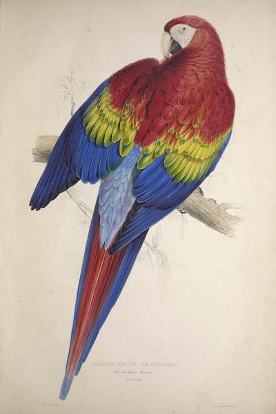 Illustrations of the Family of Psittacidae, or Parrots - <i>Macrocercus aracanga</i> - Red and Yellow Maccaw (1832)