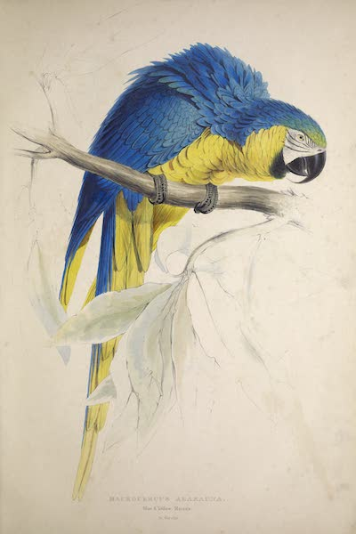 Illustrations of the Family of Psittacidae, or Parrots - <i>Macrocercus ararauna</i> - Blue and Yellow Maccaw (1832)