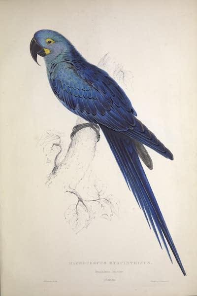 Illustrations of the Family of Psittacidae, or Parrots - <i>Macrocercus hyacinthinus</i> - Hyacinthine Maccaw (1832)