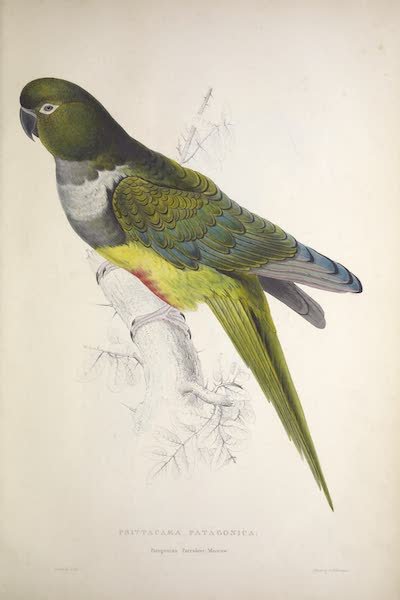 Illustrations of the Family of Psittacidae, or Parrots - <i>Psittacara patagonica</i> - Patagonian Parrakeet-Maccaw (1832)