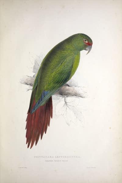 Illustrations of the Family of Psittacidae, or Parrots - <i>Psittacara leptorhyncha</i> - Long-billed Parrakeet-Maccaw (1832)