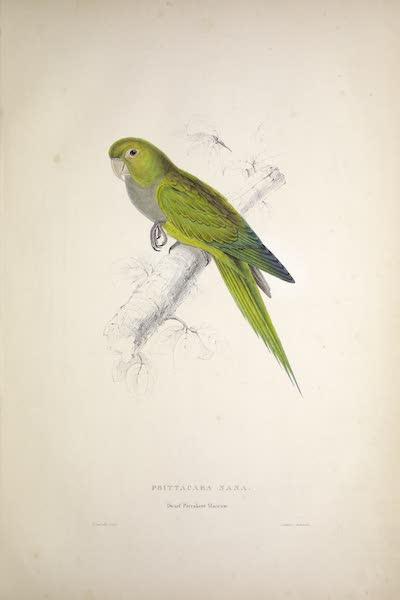 Illustrations of the Family of Psittacidae, or Parrots - <i>Psittacara nana</i> - Dwarf Parrakeet-Maccaw (1832)