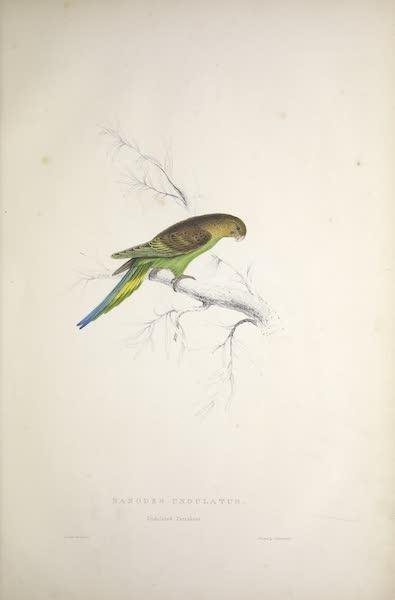 Illustrations of the Family of Psittacidae, or Parrots - <i>Nanodes undulatus</i> - Undulated Parrakeet (1832)