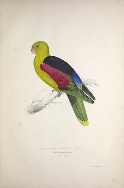 Illustrations of the Family of Psittacidae, or Parrots - <i>Platycercus erythropterus</i> - Crimson-winged Parrakeet [Male, Adult] (1832)