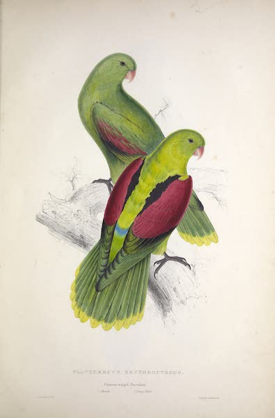 Illustrations of the Family of Psittacidae, or Parrots - <i>Platycercus erythropterus</i> - Crimson-winged Parrakeet [1. Female, 2. Young Male] (1832)