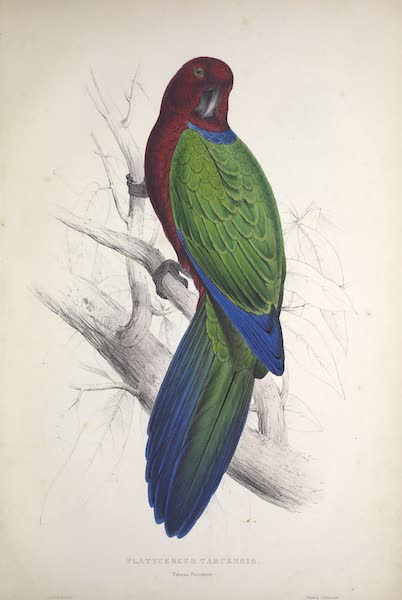 Illustrations of the Family of Psittacidae, or Parrots - <i>Platycercus tabuensis</i> - Tabuan Parrakeet (1832)
