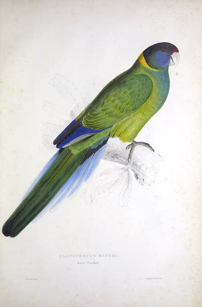 Illustrations of the Family of Psittacidae, or Parrots - <i>Platycercus baueri</i> - Bauer's Parrakeet (1832)