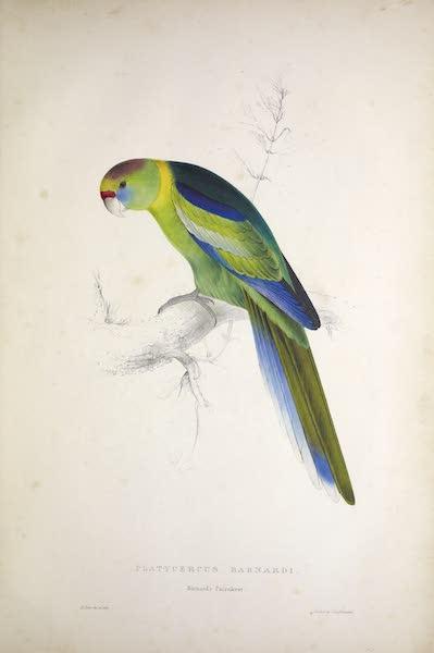 Illustrations of the Family of Psittacidae, or Parrots - <i>Platycercus barnardi</i> - Barnard's Parrakeet (1832)