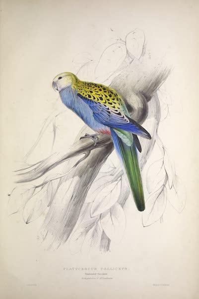 Illustrations of the Family of Psittacidae, or Parrots - <i>Platycercus palliceps</i> - Paleheaded Parrakeet (1832)