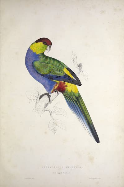 Illustrations of the Family of Psittacidae, or Parrots - <i>Platycercus pileatus</i> - Red-capped Parrakeet (1832)