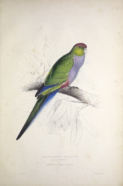 Illustrations of the Family of Psittacidae, or Parrots - <i>Platycercus pileatus</i> - Red-capped Parrakeet [Female] (1832)