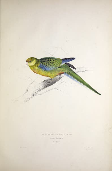 Illustrations of the Family of Psittacidae, or Parrots - <i>Platycercus stanleyii</i> - Stanley Parrakeet [Young Male] (1832)