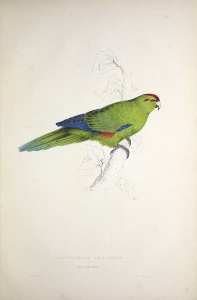 Illustrations of the Family of Psittacidae, or Parrots - <i>Platycercus pacifcus</i> - Pacific Parrakeet (1832)