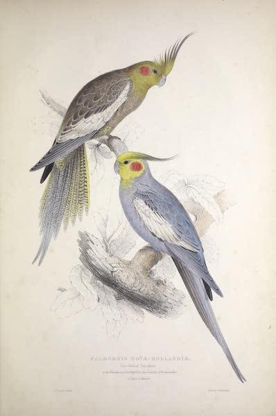 Illustrations of the Family of Psittacidae, or Parrots - <i>Palaeornis novae-hollandiae</i> - New Holland Parrakeet [1. Male, 2. Female] (1832)