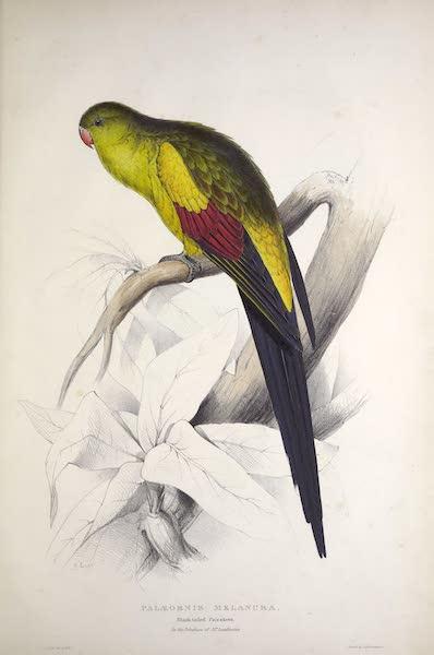 Illustrations of the Family of Psittacidae, or Parrots - <i>Palaeornis melanura</i> - Black-tailed Parrakeet (1832)
