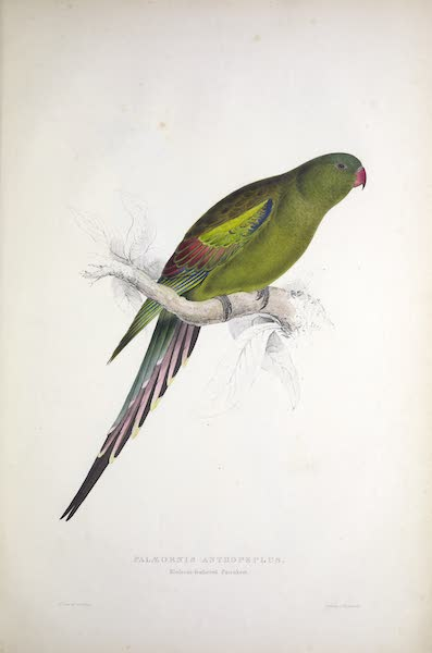 Illustrations of the Family of Psittacidae, or Parrots - <i>Palaeornis anthopeplus</i> - Blossom-feathered Parrakeet (1832)