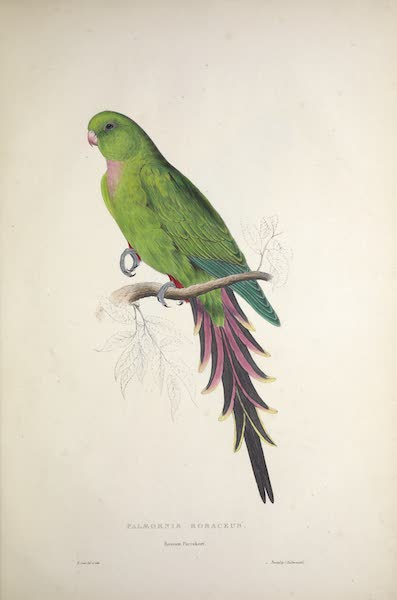Illustrations of the Family of Psittacidae, or Parrots - <i>Palaeornis rosaceus</i> - Roseate Parrakeet (1832)