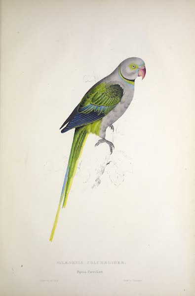 Illustrations of the Family of Psittacidae, or Parrots - <i>Palaeornis columboides</i> - Pigeon Parrakeet (1832)