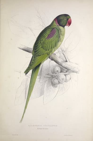 Illustrations of the Family of Psittacidae, or Parrots - <i>Palaeornis cucullatus</i> - Hooded Parrakeet (1832)