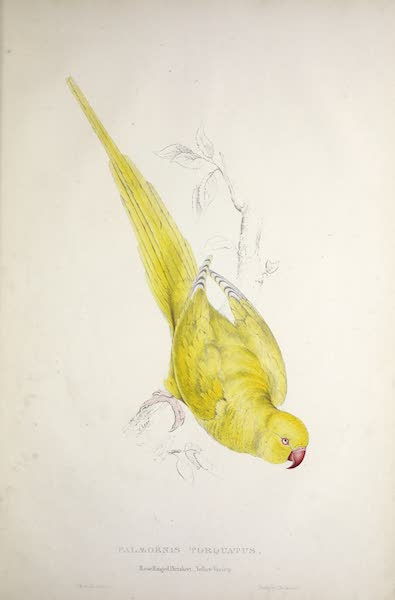 Illustrations of the Family of Psittacidae, or Parrots - <i>Palaeornis torquatus</i> - Rose-Ringed Parrakeet, Yellow Variety (1832)