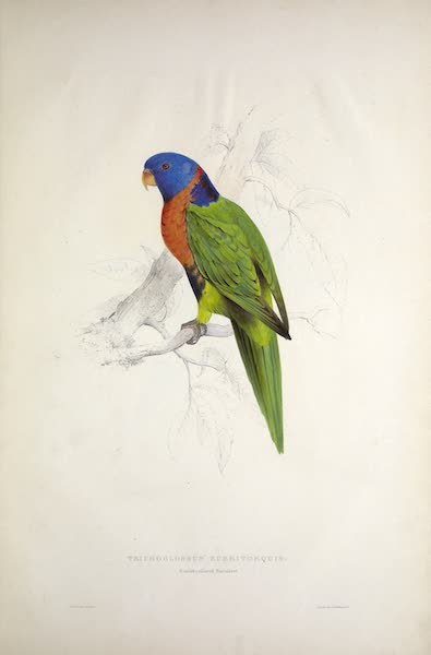 Illustrations of the Family of Psittacidae, or Parrots - <i>Trichoglossus rubritorquis</i> - Scarlet-collared Parrakeet (1832)