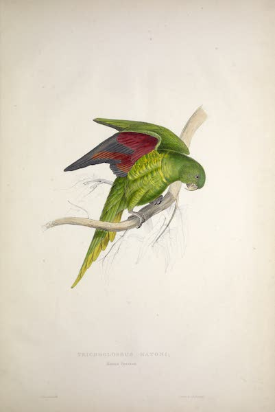 Illustrations of the Family of Psittacidae, or Parrots - <i>Trichoglossus matoni</i> - Maton's Parrakeet (1832)