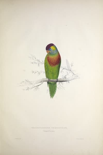 Illustrations of the Family of Psittacidae, or Parrots - <i>Trichoglossus versicolor</i> - Variegated Parrakeet (1832)