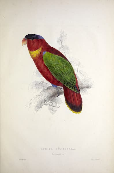Illustrations of the Family of Psittacidae, or Parrots - <i>Lorius domicella</i> - Black-capped Lory (1832)