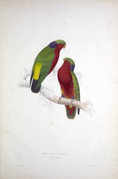 Illustrations of the Family of Psittacidae, or Parrots - <i>Psittacula kuhlii</i> - Kuhl's Parrakeet (1832)