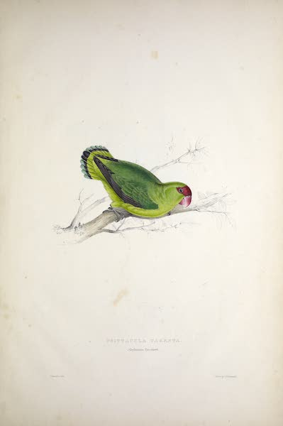 Illustrations of the Family of Psittacidae, or Parrots - <i>Psittacula taranta</i> - Abyssinian Parrakeet (1832)