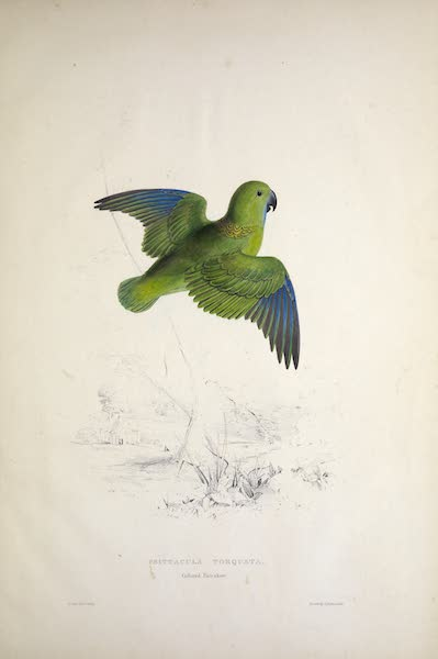 Illustrations of the Family of Psittacidae, or Parrots - <i>Psittacula torquata</i> - Collared Parrakeet (1832)