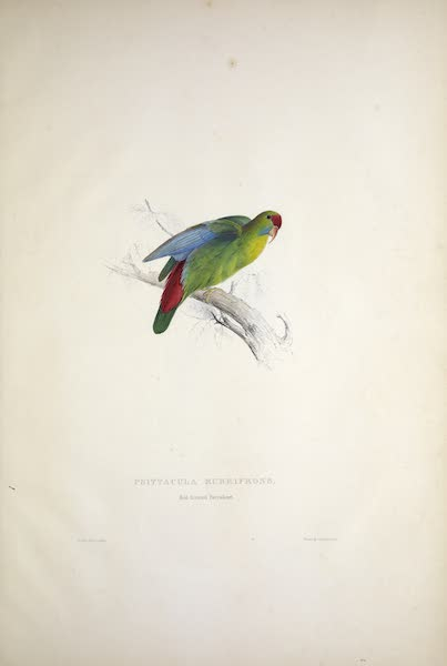 Illustrations of the Family of Psittacidae, or Parrots - <i>Psittacula rubrifrons</i> - Red-fronted Parrakeet (1832)