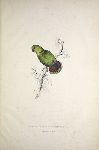 Illustrations of the Family of Psittacidae, or Parrots - <i>Psittacula swinderniana</i> - Swindern's Parrakeet (1832)