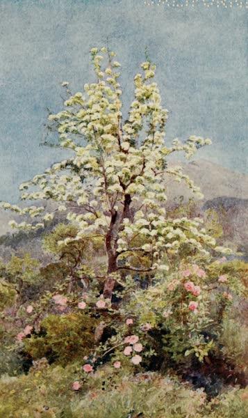 Lamia's Winter-Quarters - Pear-blossom, Maritime Alps (1907)