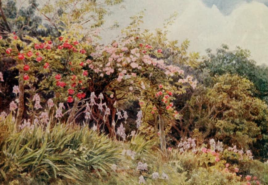 Lamia's Winter-Quarters - Roses and Iris (1907)