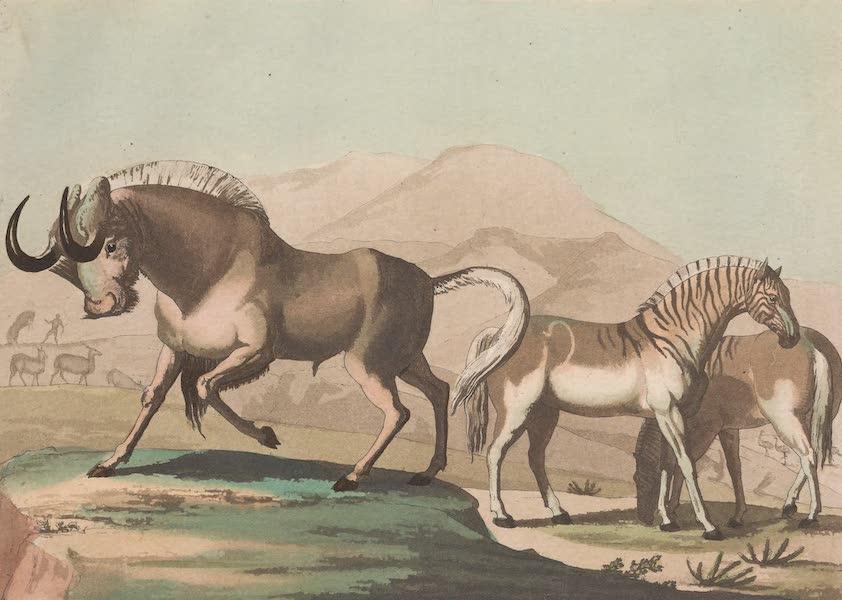 Le Costume Ancien et Moderne [Afrique] Vol. 2 - Animaux - Gnu, Quahkak etc [II] (1819)