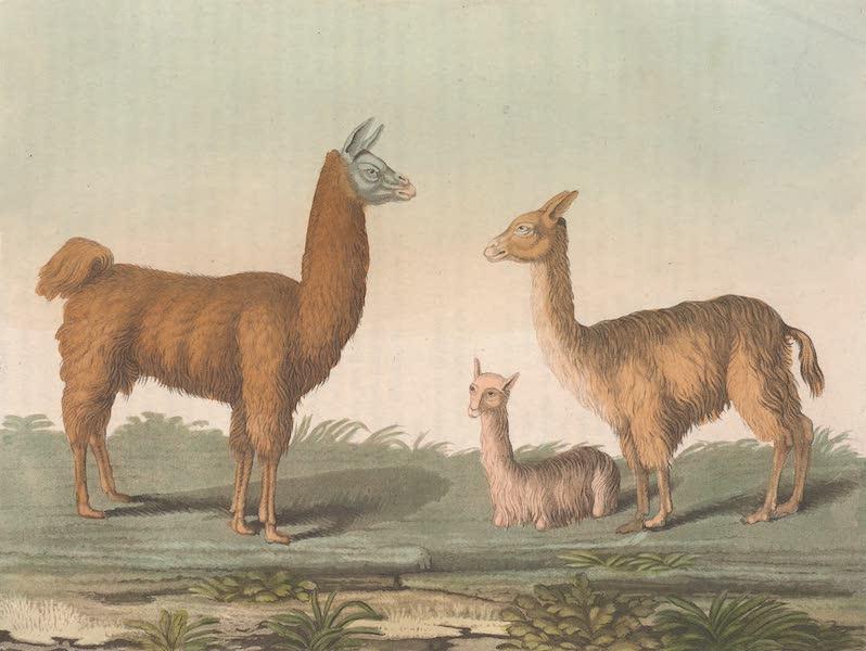 Le Costume Ancien et Moderne [Amerique] Vol. 2 - Le lama, l'apaco, la vigogne (1821)