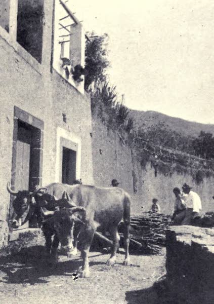 Madeira : Old and New - Hauling Sugar Cane (1909)