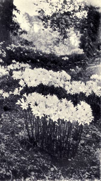 Madeira : Old and New - Belladonna Amaryllis Growing Wild (1909)