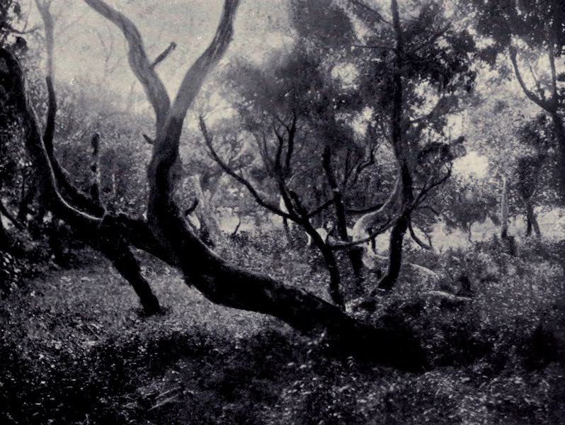 Madeira : Old and New - Giant Heath Trees (1909)
