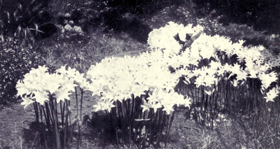 Madeira : Old and New - Belladonna Amaryllis and Hydrangea (1909)