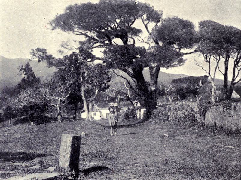 Madeira : Old and New - Pine Trees at S. Antonio da Serra (1909)