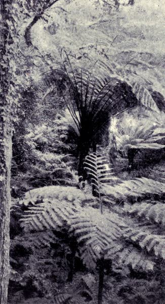 Madeira : Old and New - Tree Ferns at the Palheiro (1909)