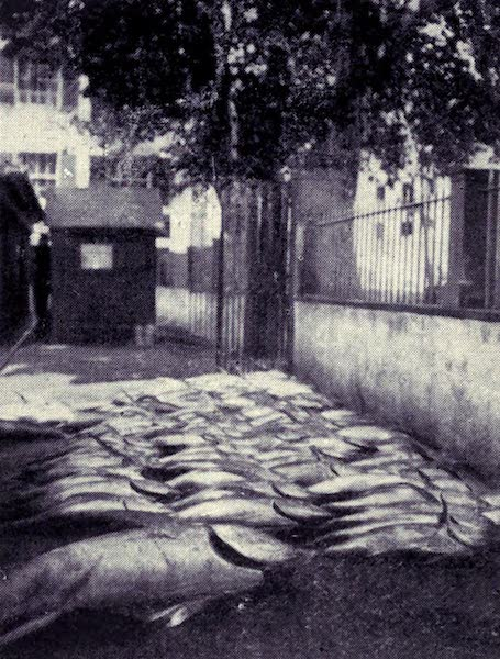 "Madeira : Old and New - The Fish Market : A Good Catch of ""Bonitos"" (1909)"
