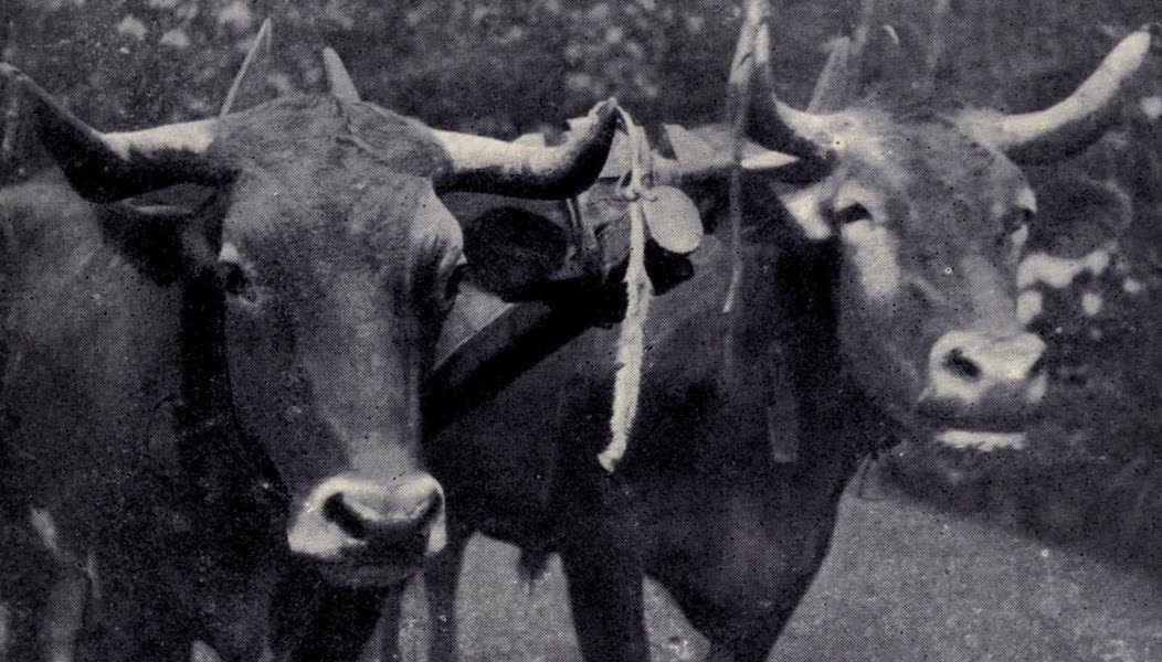 Madeira : Old and New - Yoke of Draught Oxen (1909)