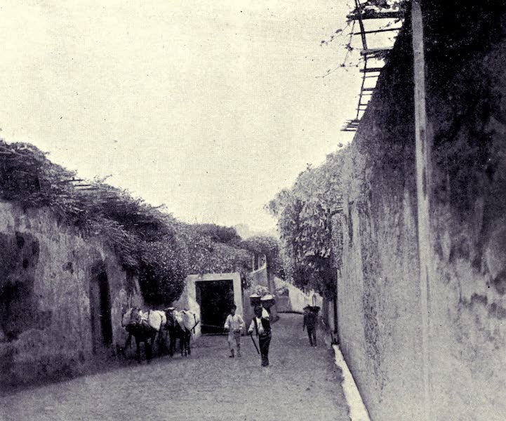 Madeira : Old and New - Mules with Sacks of Wine : Monte Road (1909)