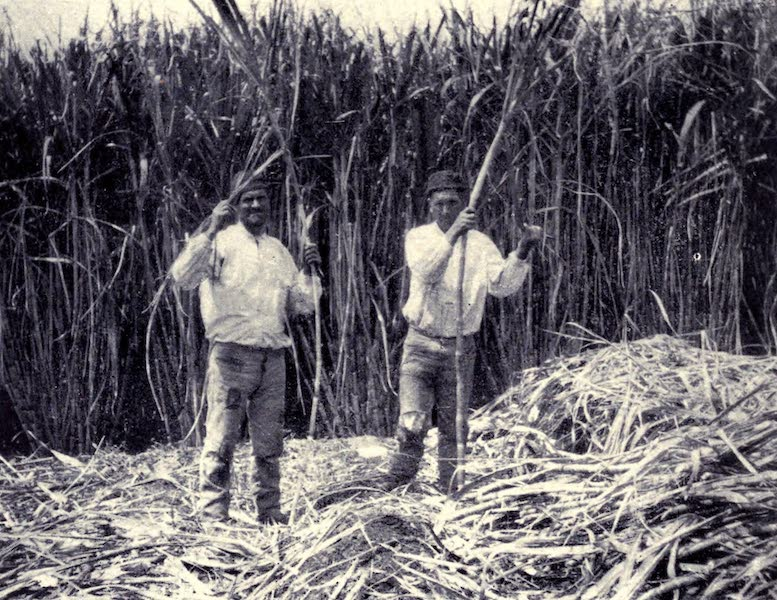 Madeira : Old and New - Cutting Sugar Cane (1909)