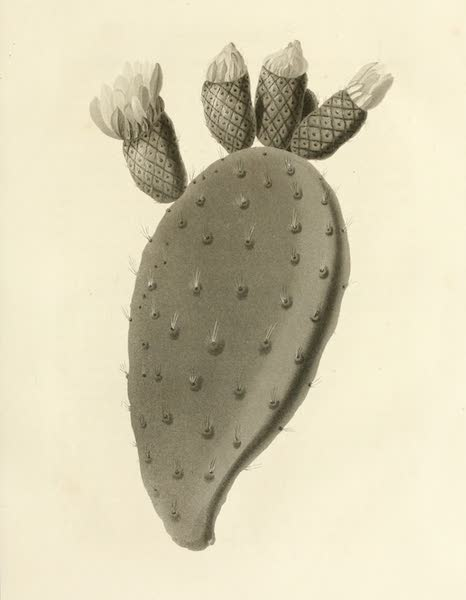 Memoir Descriptive of the Resources, Inhabitants, and Hydrography, of Sicily - Leaf of the Cactus opuntia (1824)